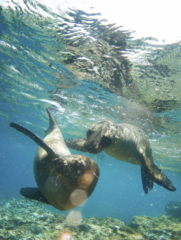seals playing in water