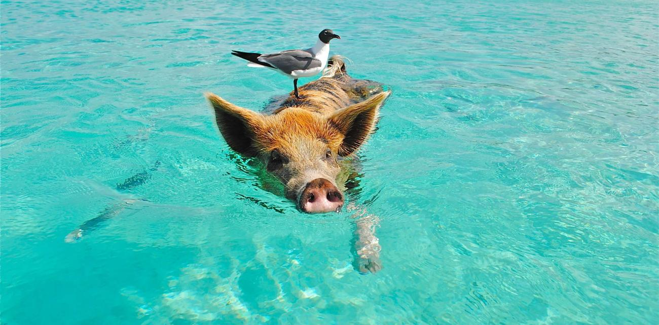 Enjoy swimming with the friendly pigs at Staniel Cay