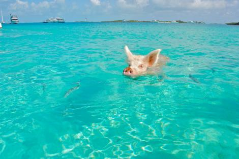 Swim with pigs in the Exumas