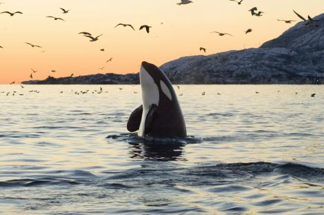 orca whale